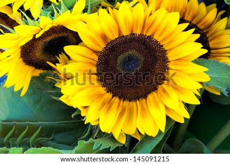 Group of sunflowers in full bloom.