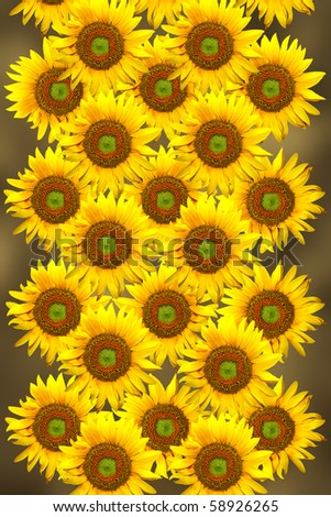 group of sunflowers on the blur brown background.