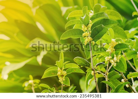 Group of Sweet osmanthus flowers blossom in the park