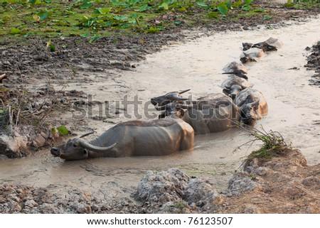 group of thai buffalo in the marsh - stock photo