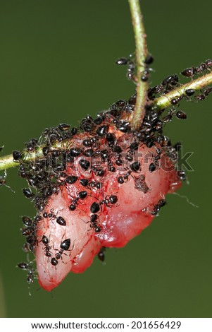 Group of the black ants & prey - stock photo