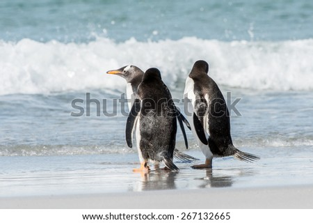 Group of the penguins playing, swimming and eating in the Atlantic Ocean