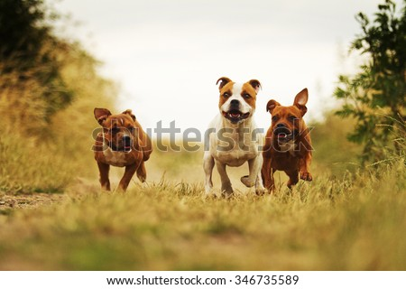 group of three angry and fun American Staffordshire Terrier dog with Staffordshire Bull Terrier puppy running in summer field with sky - stock photo