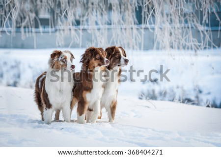 Group of three australian shepherd dogs in winter park - stock photo