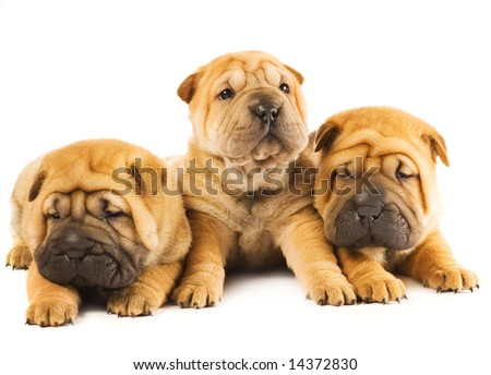 Group of three beautiful sharpei puppies isolated on white background - stock photo