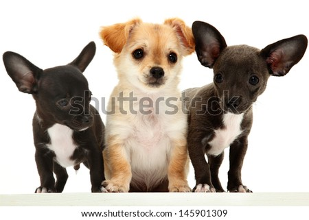 Group of three chihuahua puppies over white. - stock photo