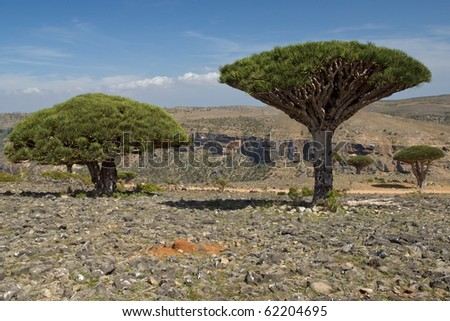 Group of three dragon trees