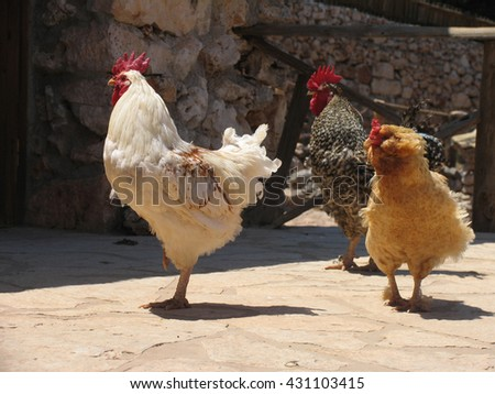 Group of three pacing roosters of white, brown and ginger colors - stock photo