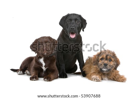 group of three puppies, two labradors and one boomer - stock photo