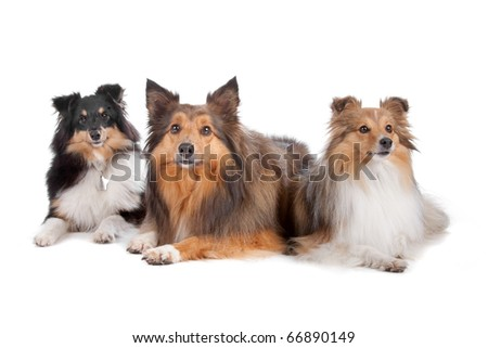 Group of three Shetland sheepdogs (shelty) lying and looking away, isolated on a white background - stock photo