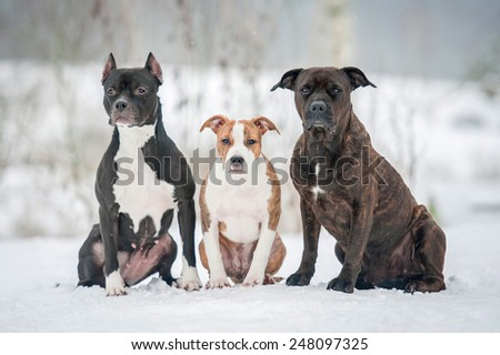 Group of three trained american staffordshire terrier dogs