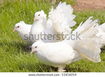 Group of three white fantails on a green meadow - stock photo