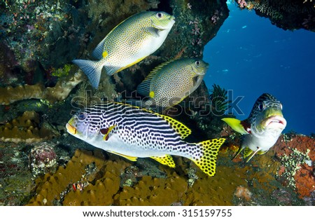 Group of tropical fish with sweetlips (Plectorhincus lineatus) and snapper on a sunken shipwreck (Liberty) at Tulamben in Bali in Indonesia with colourful hard coral and sunlit blue sea background.