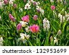 Group of tulips and hyacinths. Spring landscape. - stock photo