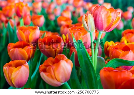 Group of tulips in the park. Spring landscape. - stock photo
