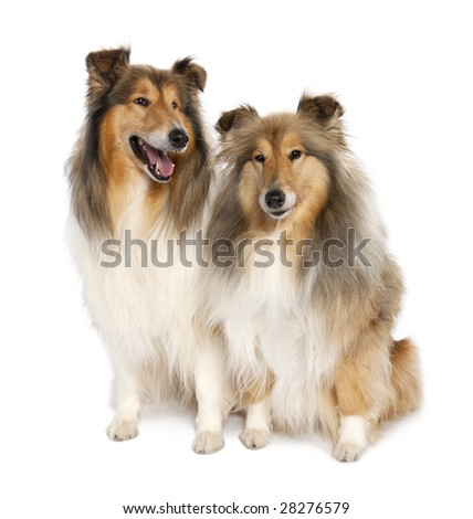 group of two shelties (5 and 6 years old) in front of white background
