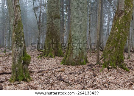 Group of very old deciduous trees side by side in springtime deciduous stand of Bialowieza Forest. Hornbeam, two oak tree and linden tree moss wrapped. Bialowieza Forest, Poland, Europe  - stock photo