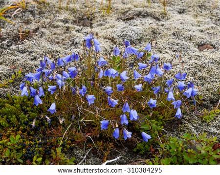 Group of violet harebell flowers in Skaftafell National Park, Iceland - stock photo