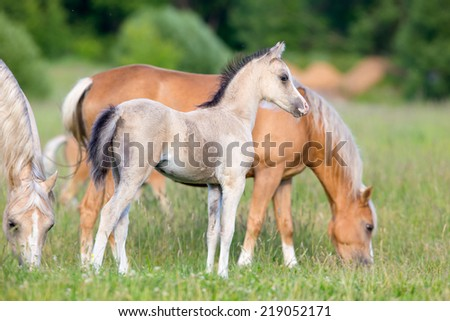 Group of Welsh ponies in field - stock photo