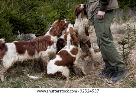 Group of welsh springer spaniels - stock photo