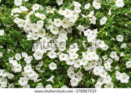 Group of white petunia flower blossom in flower pot in garden - stock photo