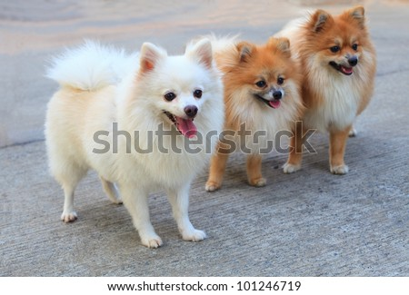 group of white pomeranian dog and brown color - stock photo