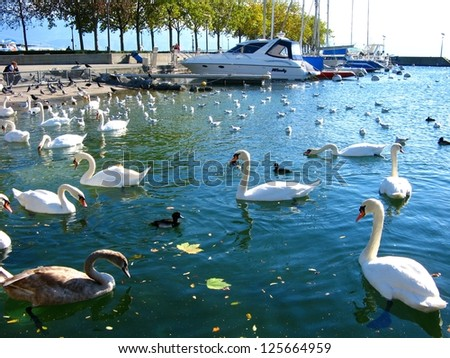 group of white Swans at Limmat river Zurich,Switzerland - stock photo