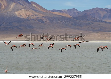 Group of wild Chilean Flamingos (Phoenicopterus chilensis) taking off from Salar de Surire, a salt lake over 4,000 metres high on the Altiplano of northern Chile in Vicunas National Park. - stock photo