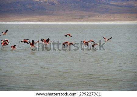Group of wild Chilean Flamingos (Phoenicopterus chilensis) taking off from Salar de Surire, a salt lake over 4,000 metres high on the Altiplano of northern Chile in Vicunas National Park.