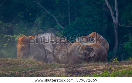 Group of Wild elephants (Elephas maximus) playing each other in real nature in the evening at Khaoyai national park, Thailand - stock photo