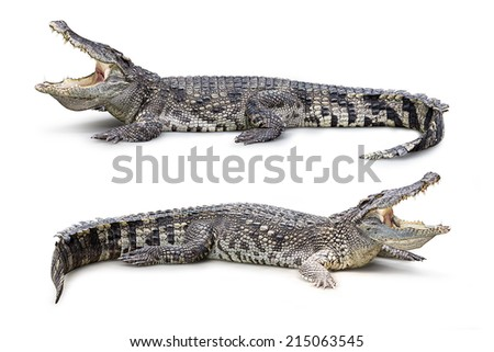 Group of wildlife crocodile isolated on white