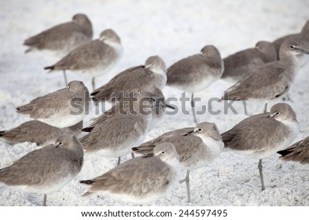 Group of Willets Resting on Beach - stock photo