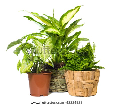 "Group of window plant ""Nephrolepis exaltata"", ""Syngonium podophyllum""  and ""Dieffenbachia picta"" isolated on white background."