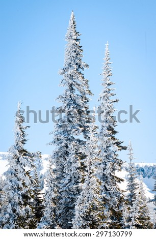 Group of Winter Pines at Mount Rainier National Park - stock photo