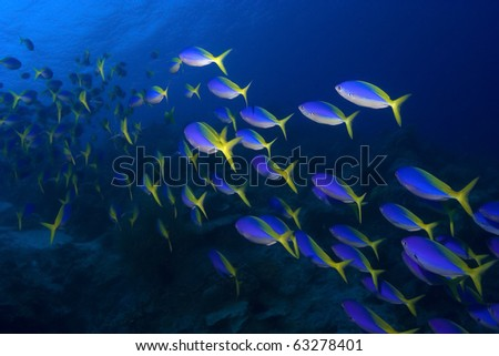 Group of yellow and blue fish swimming on blue water background - stock photo