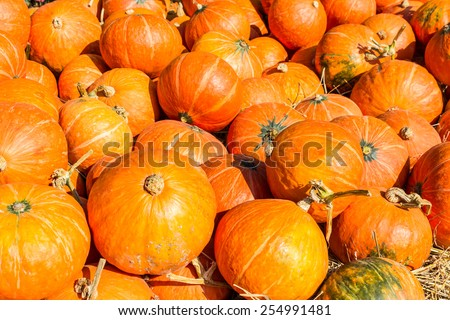 Group of Yellow small pumpkins at pumpkin patch. - stock photo