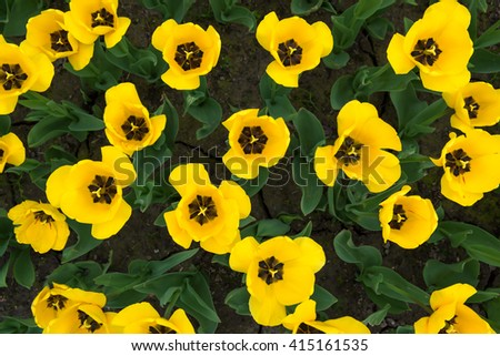 Group of yellow tulips in a garden - stock photo