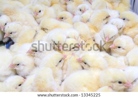 Group of young chickens in tray