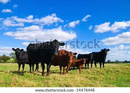 Group of young cows in a summer field - stock photo