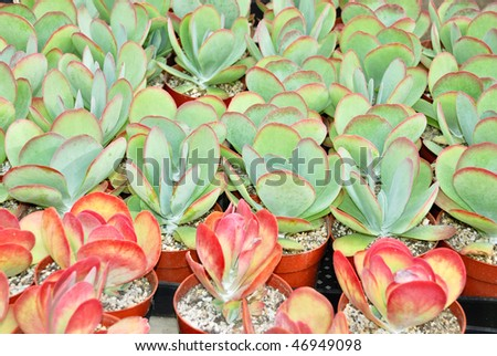 Group of young Kalanchoe thyrsiflora in a nursery. - stock photo