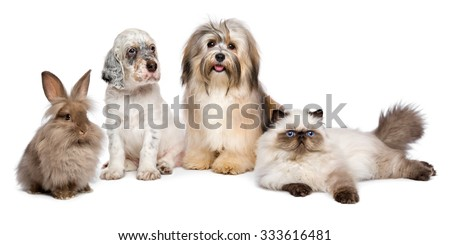 Group of young pets: english setter puppy, havanese dog, persian kitten, little rabbit - isolated on white - stock photo