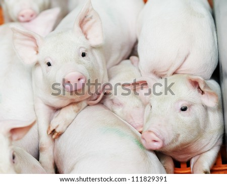 group of young piglet at pig breeding farm - stock photo
