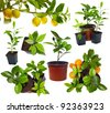 group of young potted citrus sprouts isolated on white - stock photo