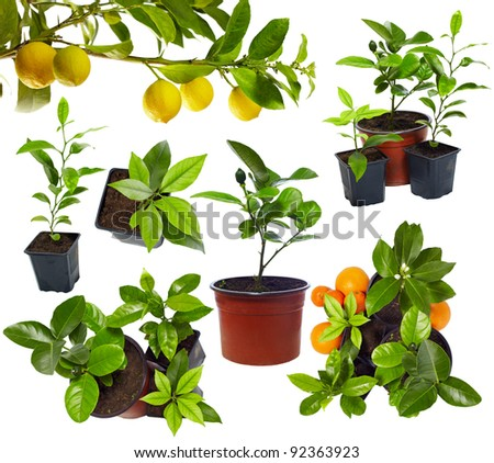 group of young potted citrus sprouts isolated on white