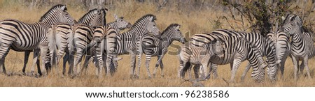 Group of Zebra at Moremi national game reserve in Botswana - stock photo