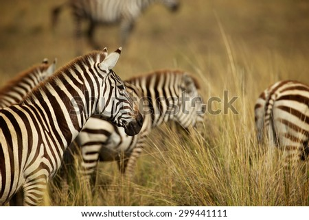 group of zebra in the long grass
