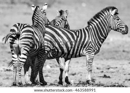 Group of zebra standing in the African sun, Kruger National Park