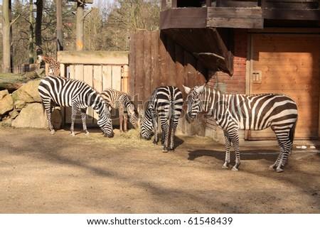 Group of zebras - stock photo