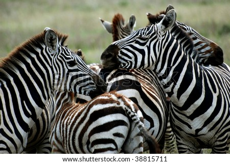 group of zebras holding each other - stock photo