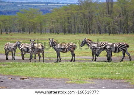 Group of zebras in kenyan national park Nakuru. - stock photo